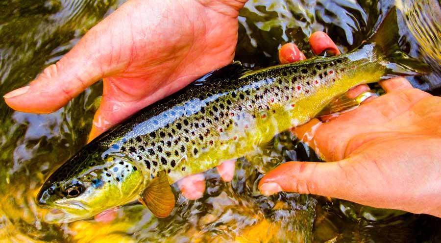 fly-fishing-lessons-peak-district-fish5.jpg