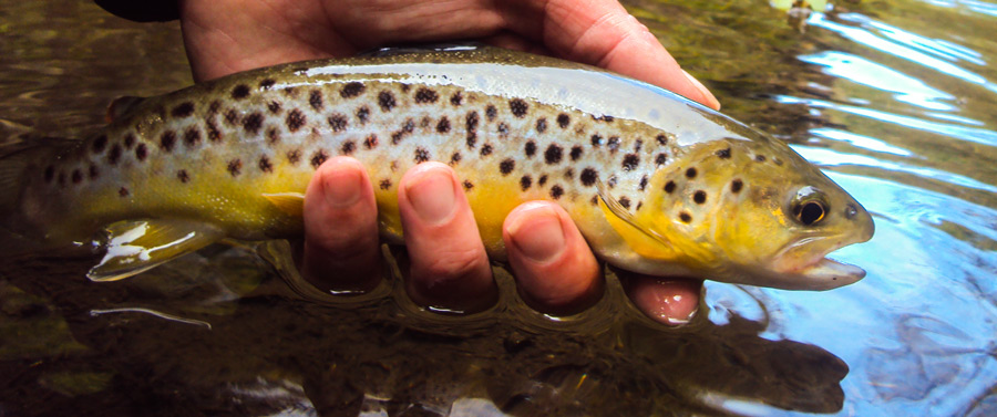 A wild brown trout that fell to a griffiths gnat